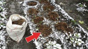 Подготовка к зиме клубники