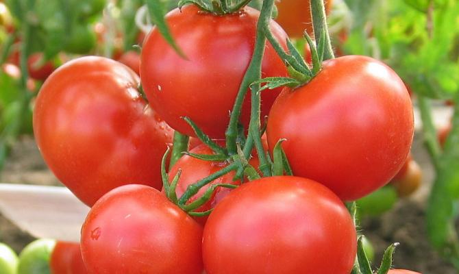 Сорт томатов Любаша