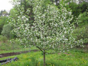 Цветение яблони Медуница