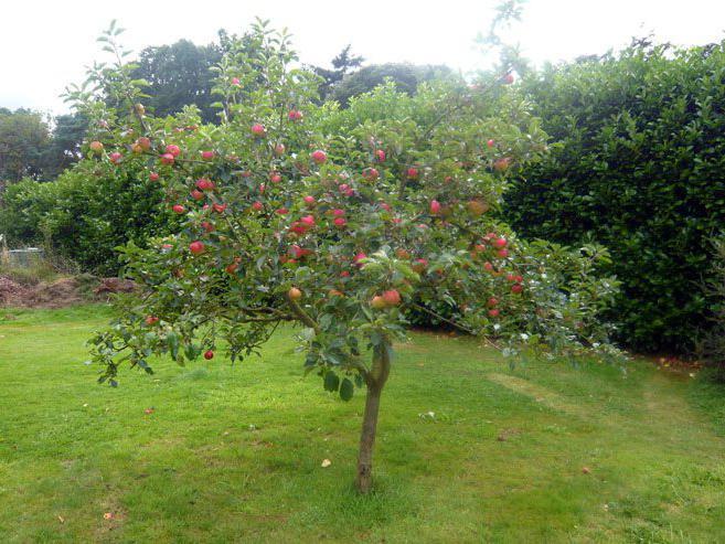 Внешний вид яблони Медуница
