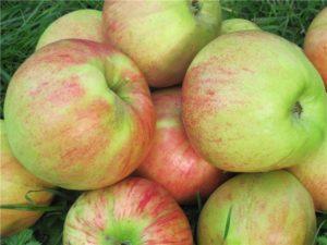 Плодоношение яблони Медуница