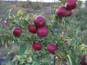 Зимний сорт яблони Медуница