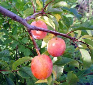 Виды подвоев яблони Медуница