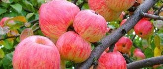 Яблоня мельба: описание сорта, фото, отзывы
