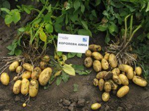 Куст картофеля Королева Анна
