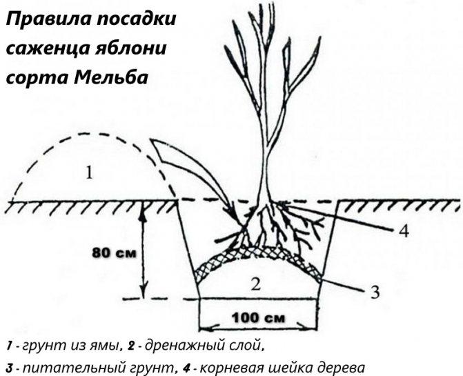 Правила посадки яблони Мельба