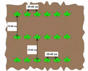 Схема посадки картофеля Королева Анна