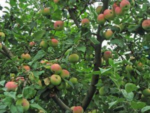Яблоня Мельба есть разных сортов
