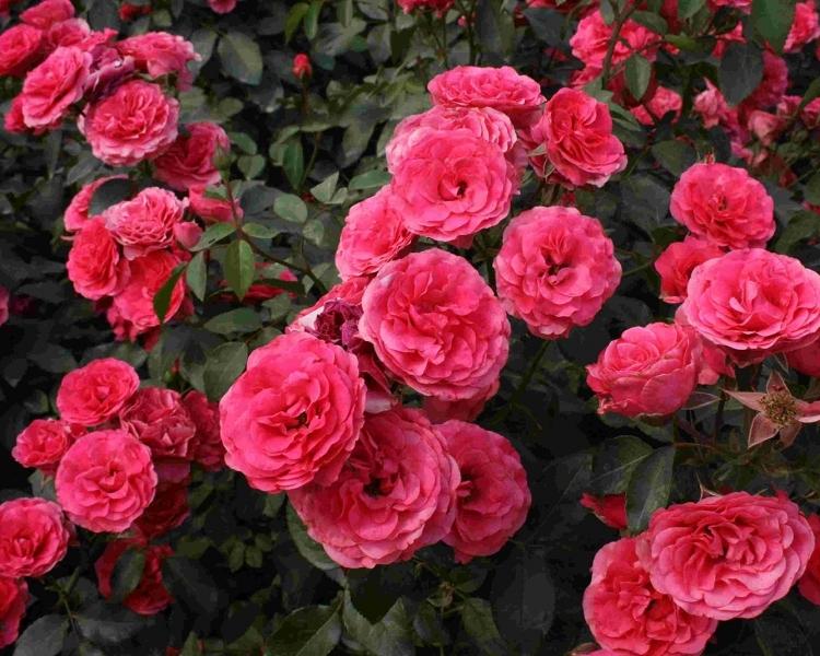 Цветок Роза Плетистая