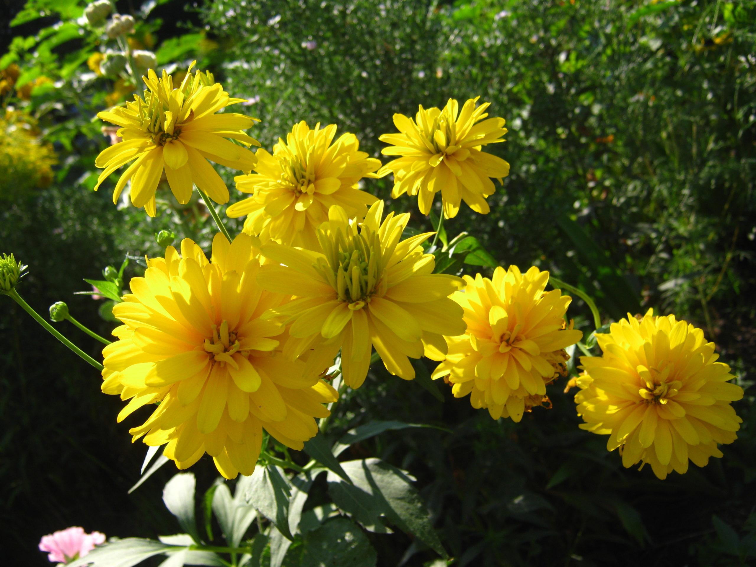 Цветы золотые шары или рудбекия