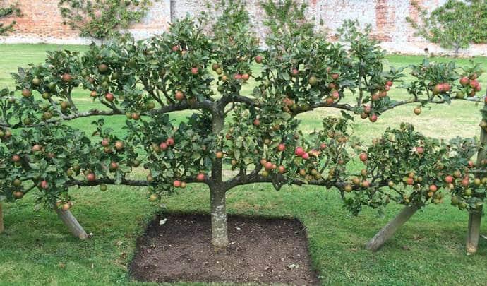 Стлющаяся яблоня