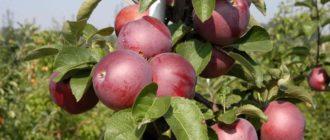 Яблоня спартан: описание сорта, фото и отзывы